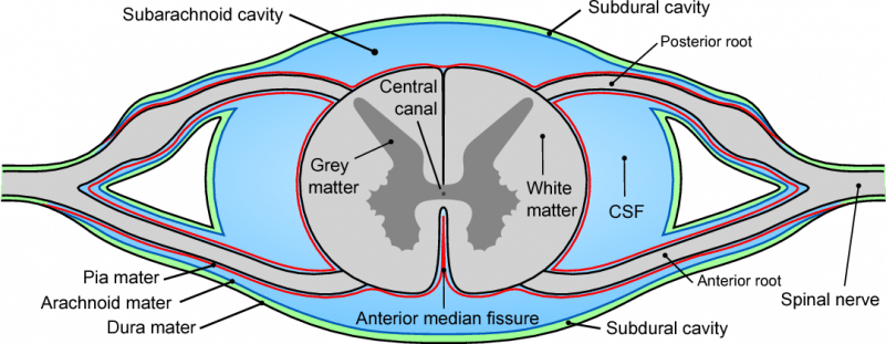 Cross section diagram of the spinal canal